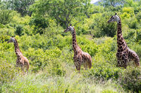Three giraffes in Tsavo West