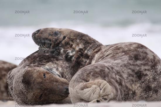 horsehead seal