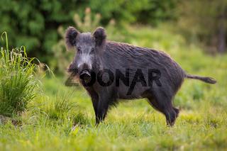 Hairy wild boar, sus scrofa, wandering through the forest grassland alone.
