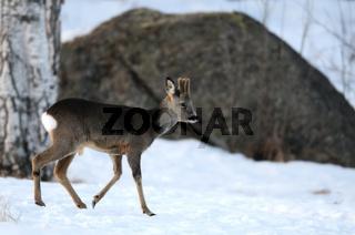 Rehwild, Winter, Schweden, Roe-deer