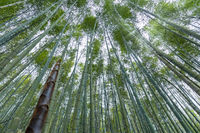 bamboo forest in spring