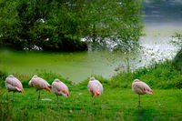 Flock of Chilean Flamingos on the green shores of Fish Pond in the Harewood House Trust area in West Yorkshire