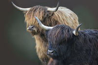 scottish highland cattle 6