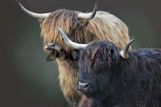 schottische Hochlandrinder 6