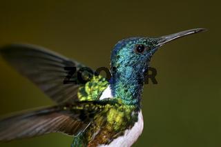 Hummingbird, Maquipucuna Cloud Forest Reserve, Ecuador