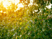 Fresh green birch leaves in sunset light. Copy space