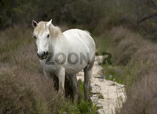 Halbwildes Camargue-Pferd