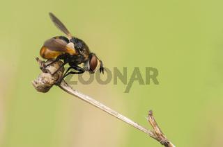 Raupenfliege, Tachinidae, Gymnosoma rotundatum