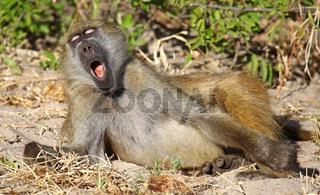 Gähnender Steppenpavian, Gelber Pavian, Chobe, Botswana; papio cynocephalus; savanna baboon, Chobe, Botsuana