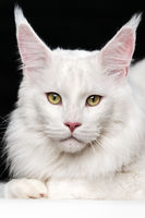 White Maine Coon Cat. Domestic animal lying and looking at camera on black and white background