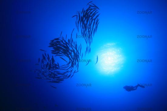 Scuba diver and school of blackfin barracudas