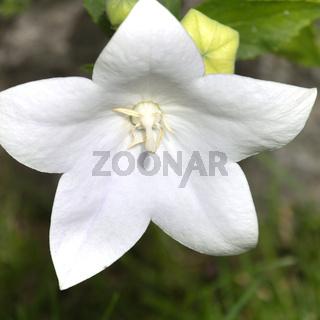 weiße ballonblumen blüte