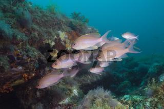 Schwarm Mittelmeer-Fahnenbarsche