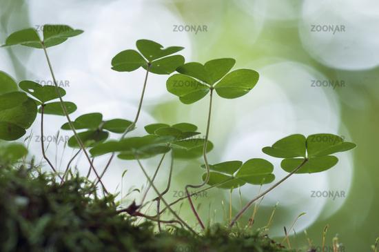 wood sorrel, (Oxalis acetosella)