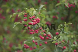 Gewöhnliches Pfaffenhütchen, Euonymus europaeus, spindle tree,