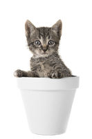 Cute tabby baby kitten in a white flower pot looking at the camera isolated on a white background