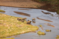 Small herd of African elephants crossing the olifants river