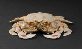 moon crab in dark back