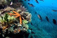 Mediterranean Red Sea Star, Cabo Cope Puntas del Calnegre Natural Park, Spain