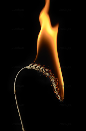 brennende kornähre