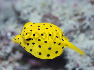 Black-spotted boxfish