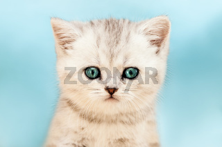 Little british domestic silver tabby cat