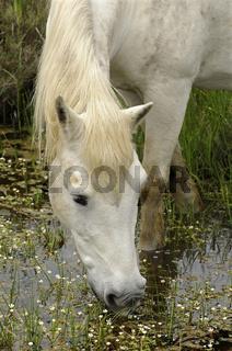 Camargue-Pferd auf Futtersuche in einem Sumpfgebiet