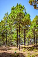 Pine tree wood in El Hierro Island