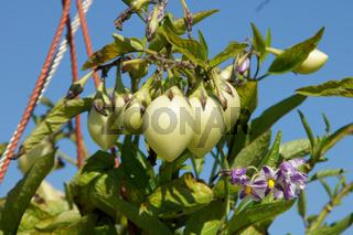 Solanum melongena, Eierfrucht, Eggplant
