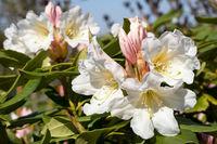 Rhododendron Hybrid Dufthecke, Rhododendron hybrid
