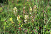 Bärenschote (Astragalus glycyphyllos), auch Süßholz-Tragant oder Süßer Tragant