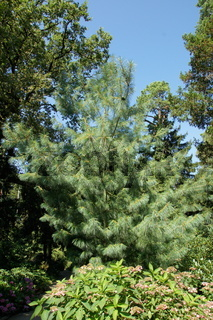 Pinus wallichiana, Traenenkiefer, Himalayan pine