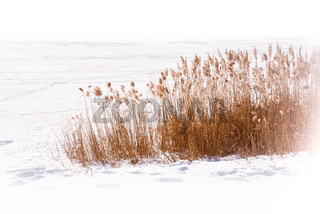 Dry Typha Latifolia Flowers, also called Cattails