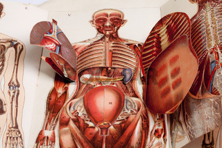 Anatomy, medical illustration of human beings