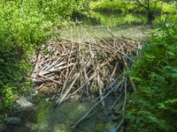 Beaver den with damming