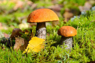 Two mushrooms in forest