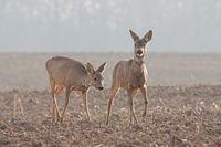 Capreolus capreolus, two Roe Deer walking