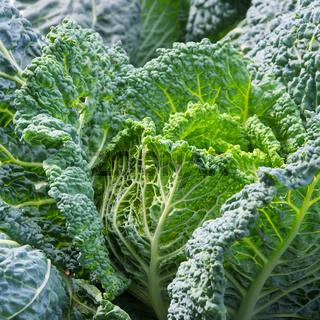 Wirsingkohl - Savoy cabbage 03