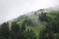 Pine forest and green meadow on a rainy summer day.