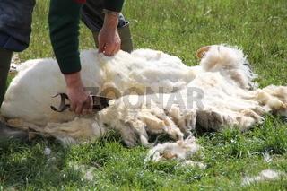 Ein Schafscherer