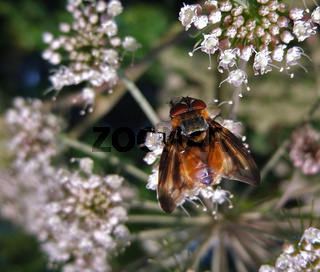 Diptera in natural back