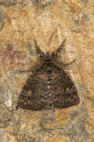 Lymantria Incerta, Moth, Noctuoidea, Meghalaya, India