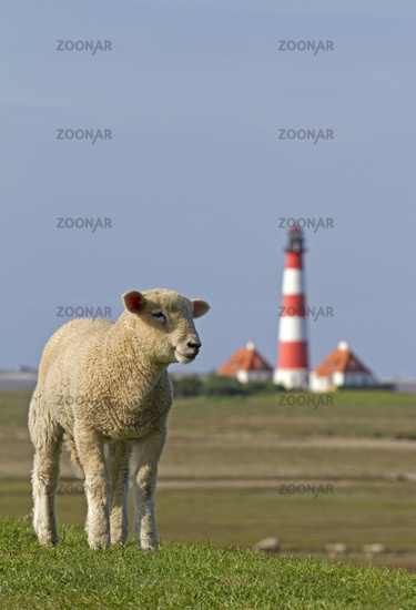 Sheep with lighthouse Westerhever, Schleswig-Holst