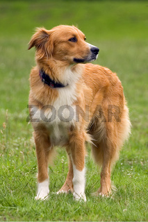 Schöner großer Mischlingshund