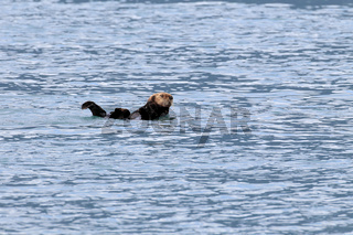 Seeotter Alaska