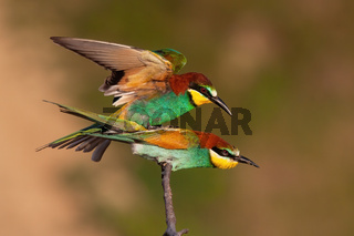 European bee-eater mating on twig in summer nature