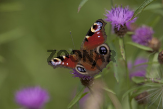 Tagpfauenauge, Inachis io, peacock butterfly