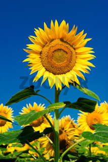Sunflower field background under blue sky
