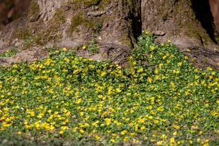 Scharbockskraut - Feigwurz - Frühlingsscharbockskraut