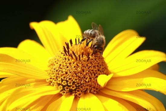 Honey bee in yellow flower